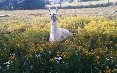 lama dans herbes hautes